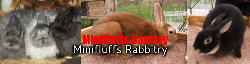 Rabbit Color Genetics 101 Minifluffs Caviary